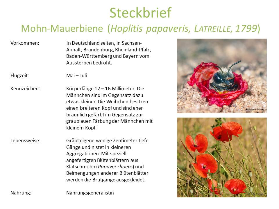 wildbienen_steckbrief_5.jpg